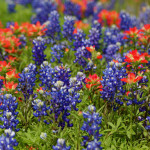 10 Texas Springtime Wildflowers