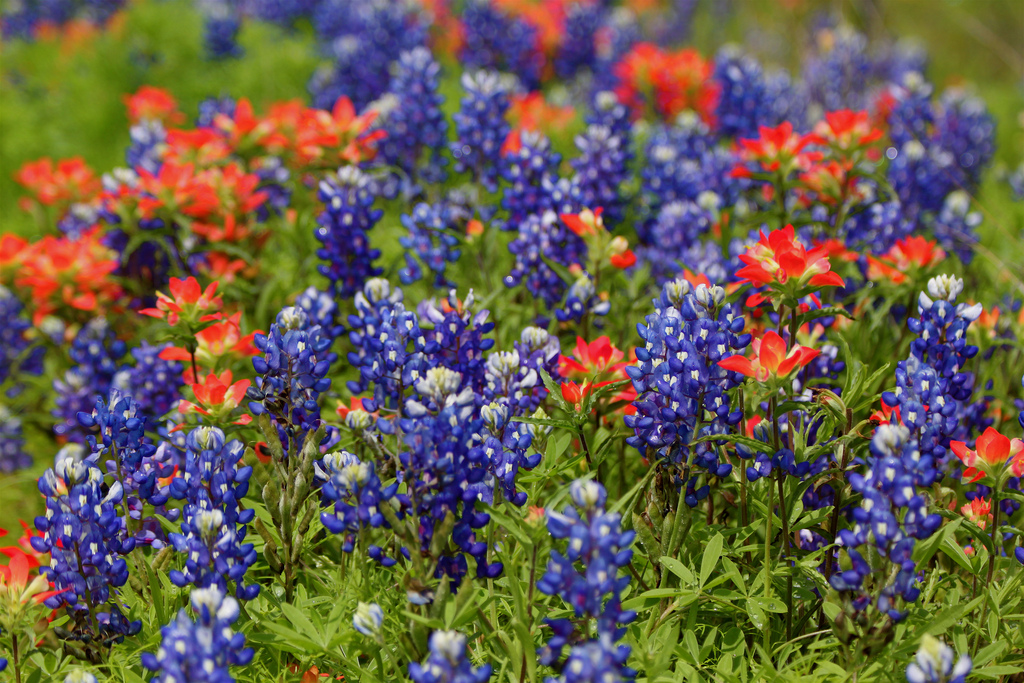 indian-paintbrushes-bluebonnets