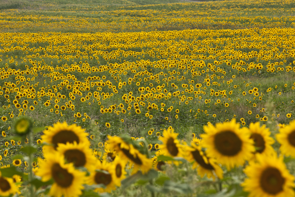 sunflowers-texas