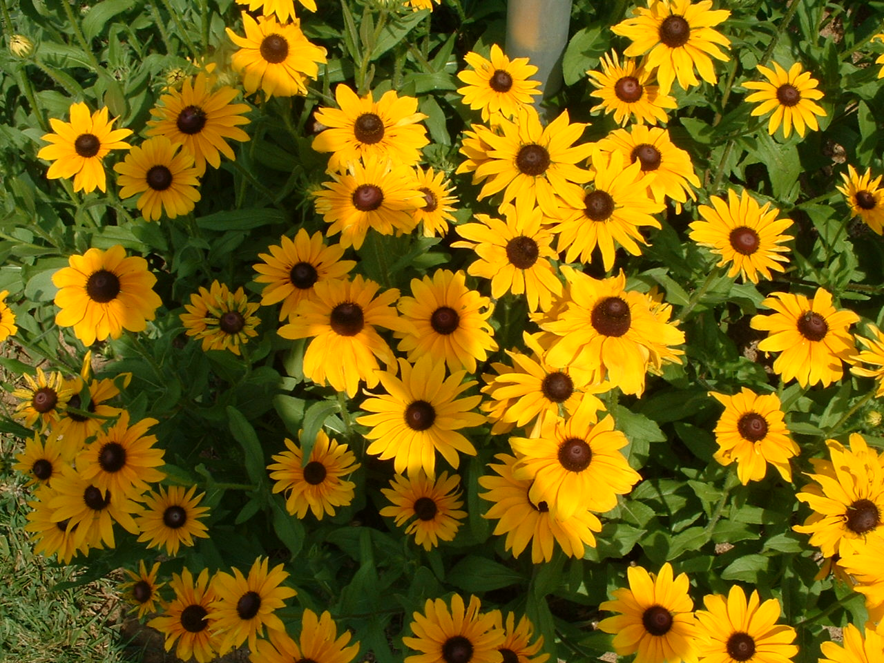 10 texas springtime wildflowers brown eyed susan texas mightylinksfo